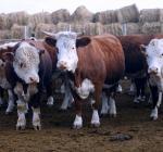 перепись скота