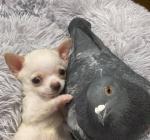 чихуахуа и голубь