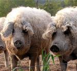 мангалица-свиньи