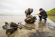 На Ямале обнаружили хорошо сохранившиеся останки взрослого мамонта