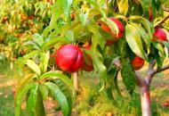Как подготовить персик к зиме?