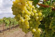 Советы по обрезанию винограда для новичков