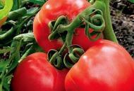 Лучшие сорта помидоров для засолки