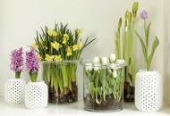 Секрет выращивания тюльпанов в вазе с водой