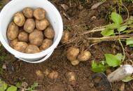 Как вырастить на даче хороший урожай вкусного картофеля
