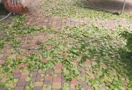 опадают листья абрикос