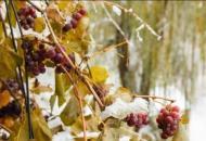 виноград_в_снегу
