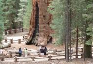 самое большое дерево в мире