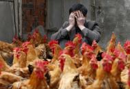 В Японии зафиксирована новая вспышка птичьего гриппа