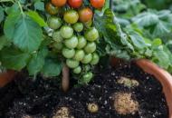 помидофель