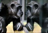 В зоопарках Чехии во время карантина устраиваютвидеоконференции междушимпанзе