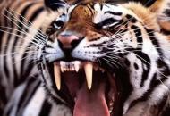 В Черниговской области тигр загрызработника зоопарка