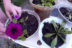 Как пересадить петунии в открытый грунт