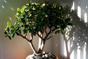 Толстянка или денежное дерево: лечебные свойства