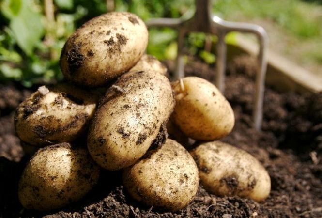 Новые способы посадки картофеля