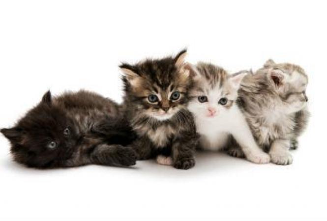 Как ухаживать за котятами?