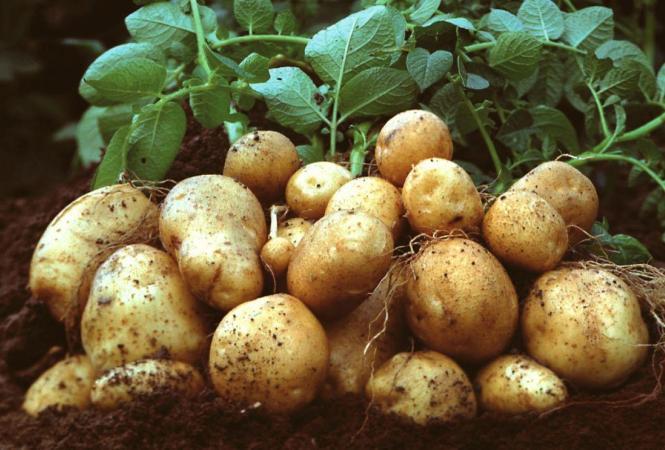 картофель урожай