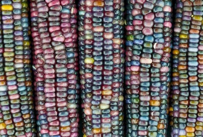 цветная кукуруза