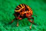 интересные факты о колорадском жуке